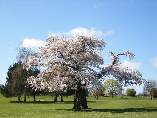 cerisier Yoshinom dondon media