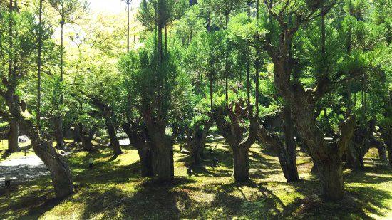 Daisugi japon comment faire pousser des arbres sur d'autres arbres