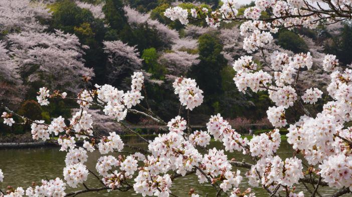 Définition sakura Japonais